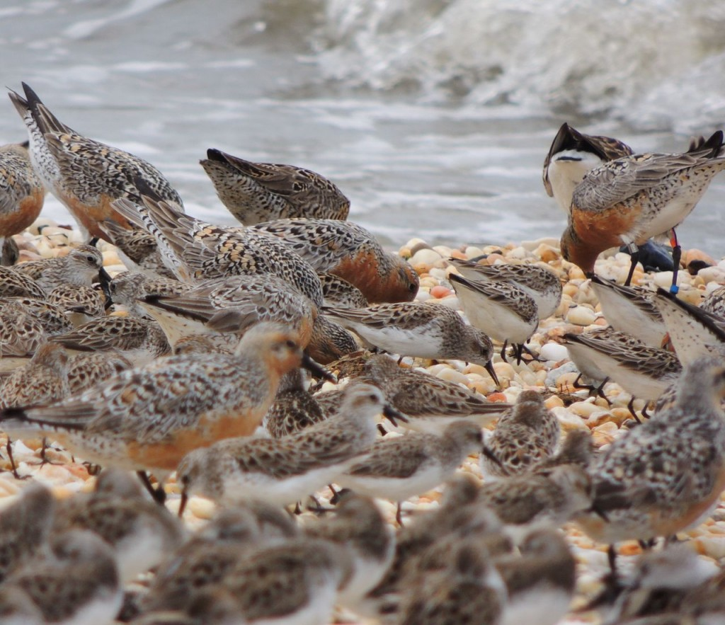 3 band Red Knot.  (Argentina)