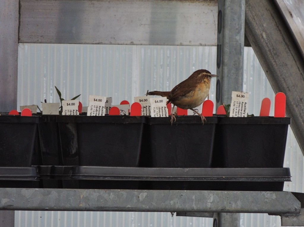 Carolina Wren in greenhouse