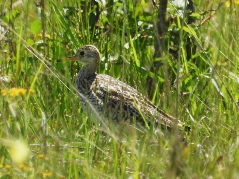 Upland Sandpiper  - photo by Bonnie Kinder