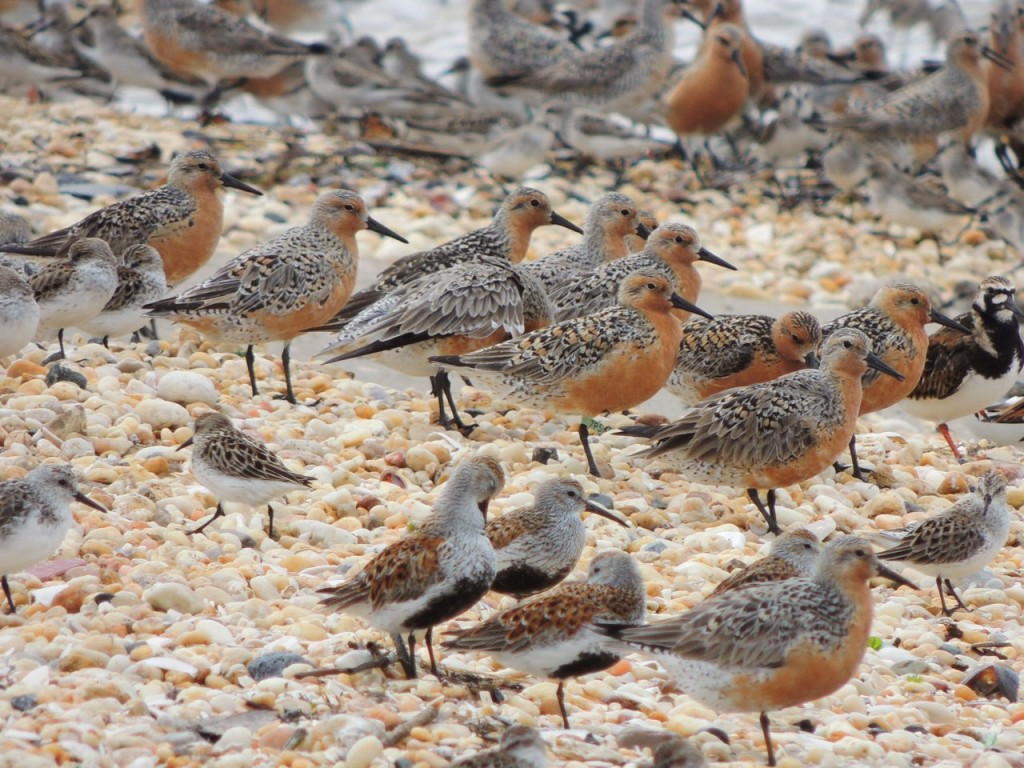 Red Knots & Dunlin. REKN Flagged centre