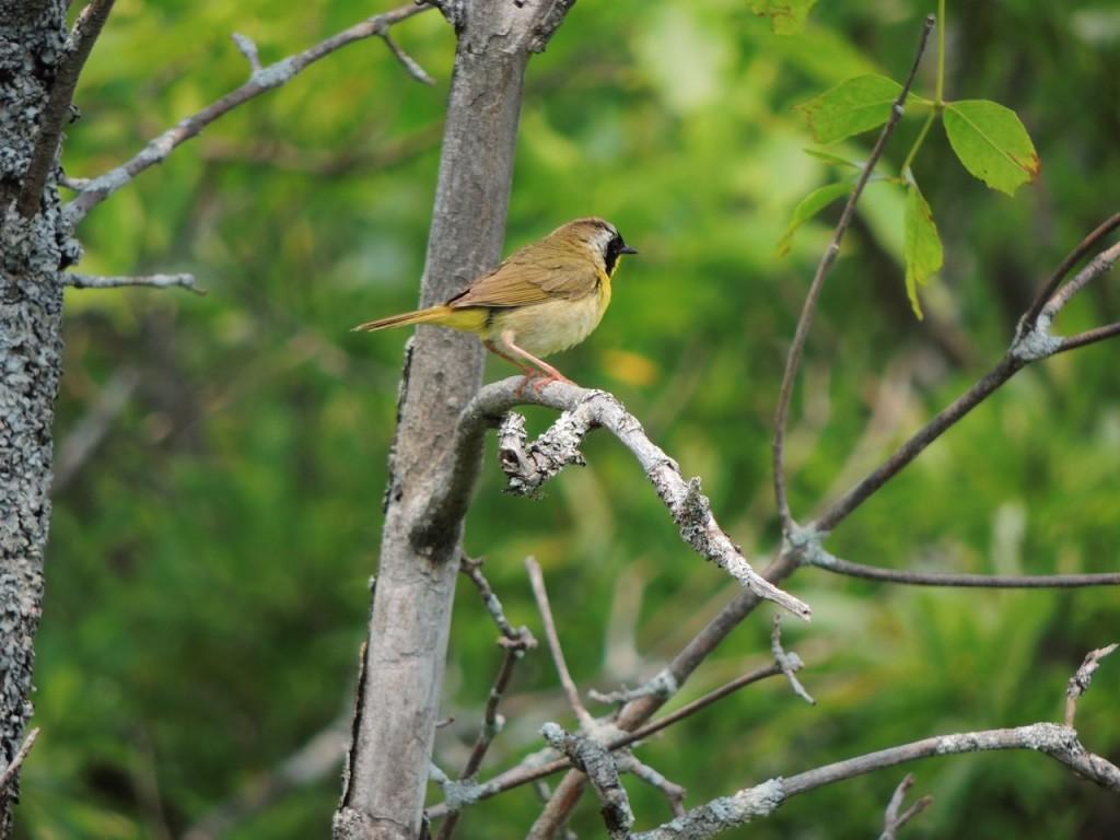 Common Yellowthroat Crane R.