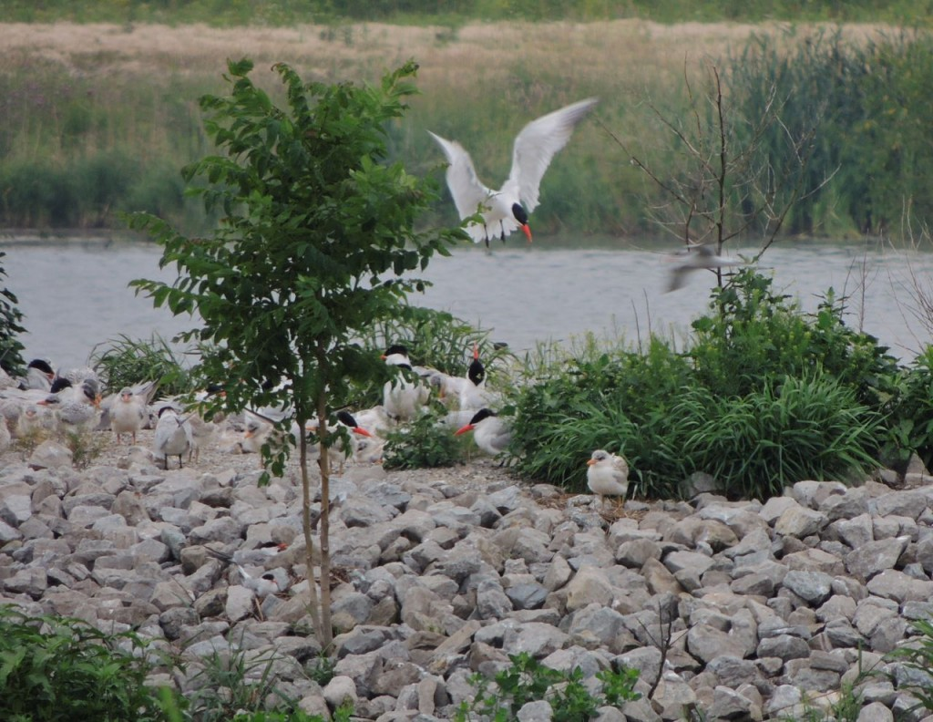 Young Caspian Tern and food arriving