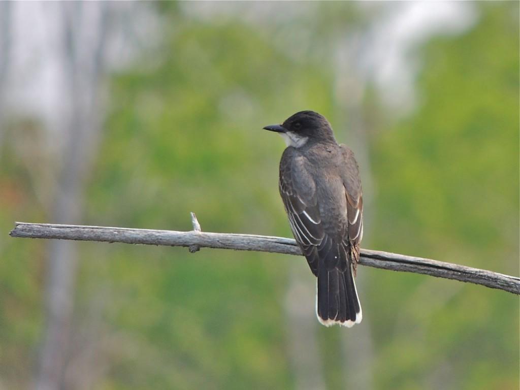 Eastern Kingbird - Crane River