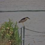 Black-crowned Night Heron. Windemere