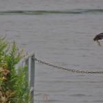 Green Heron - take off. Windemere