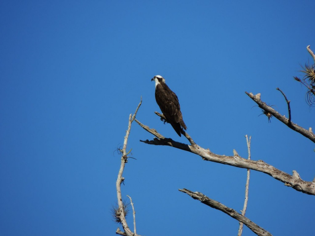 Osprey, Turner River Florida