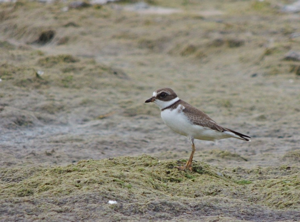 Semipalmated Plover. Lake Erie shore