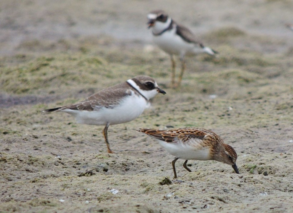 Semipalmated Plovers and Least Sandpiper