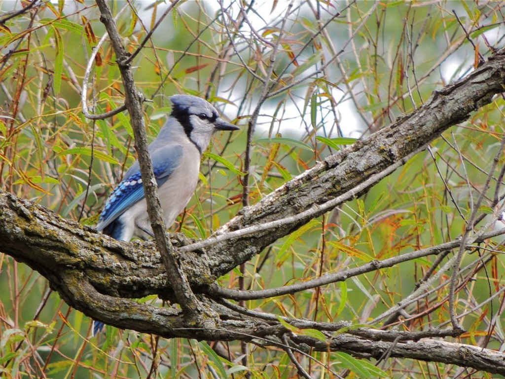 Blue Jay. Just one of thousands