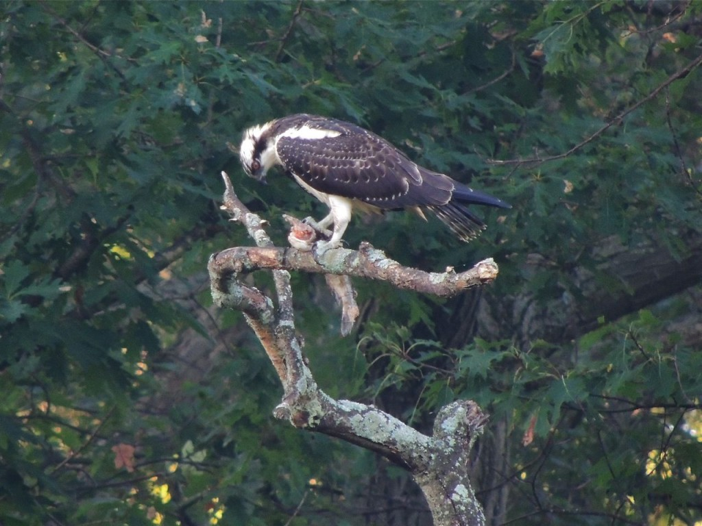 Osprey at breakfast
