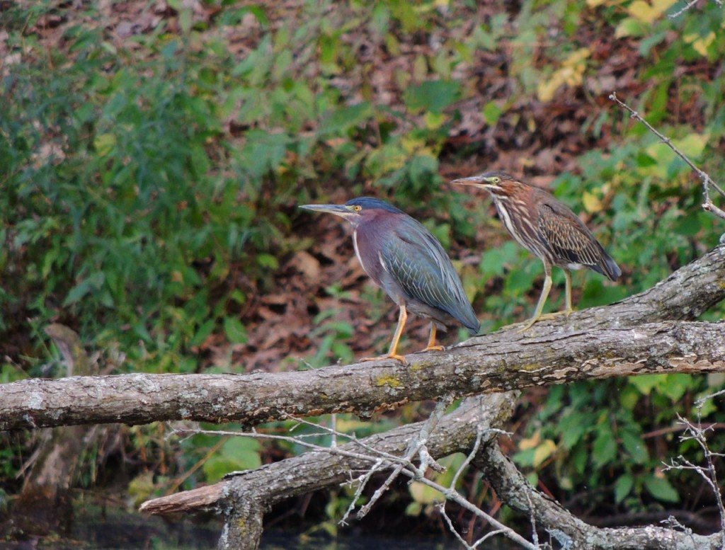 Green Herons. Adult with juvenile behind.