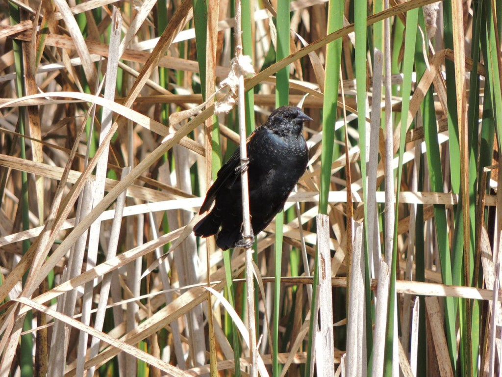 Red-winged Blackbird in fall plumage