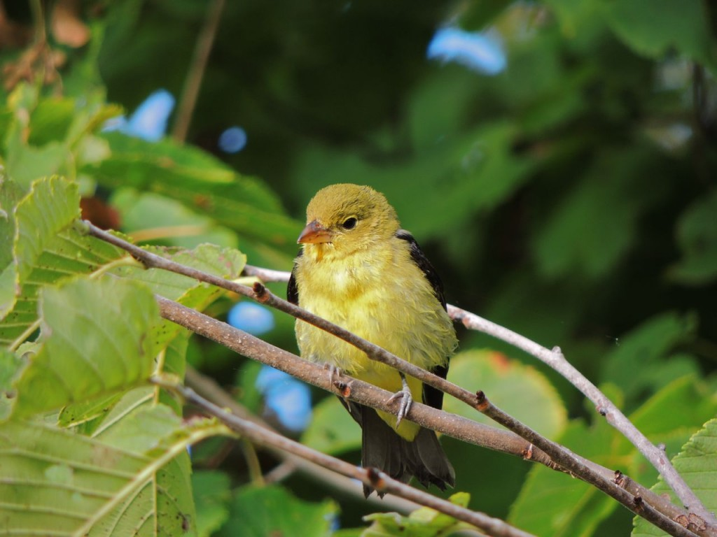Young male Scarlet Tanager