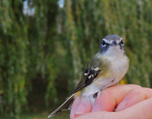 Blue-headed Vireo. Showing more typical yellow flanks and white belly