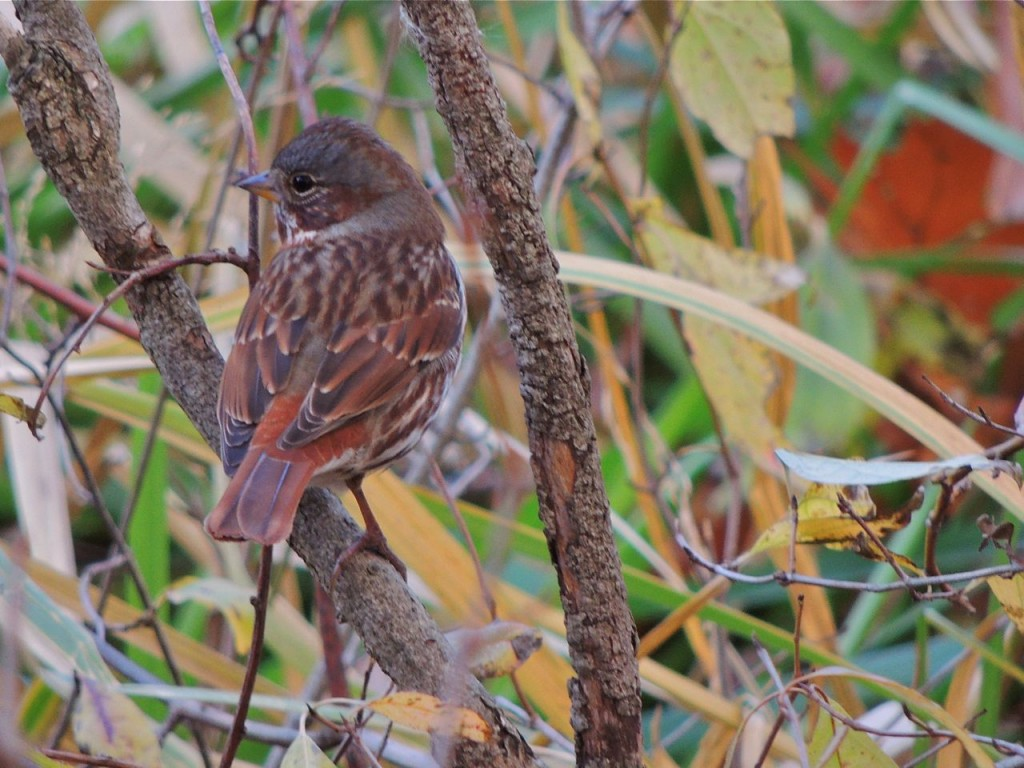 Fox Sparrow. Hendrie Valley Nov 7 2015.-2