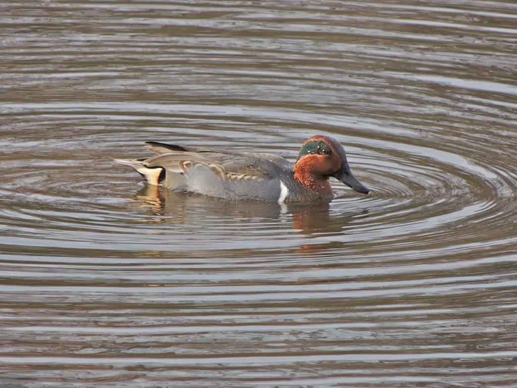Green-winged Teal. Valley Inn