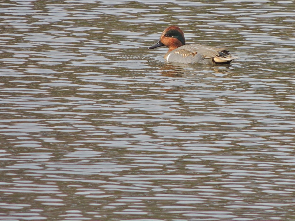 Green-winged Teal. Valley Inn-2