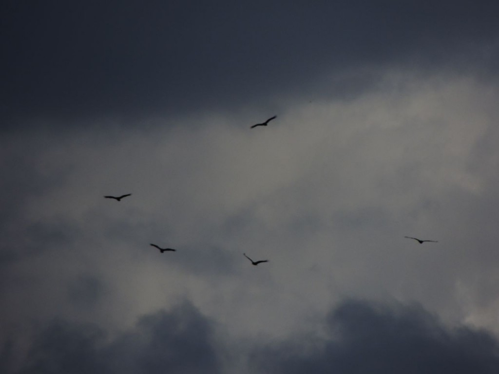 Last Turkey Vultures of the fall on their way.