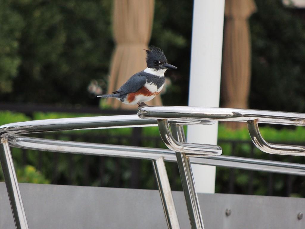 Belted Kingfisher. Female. Florida Dec. 2014