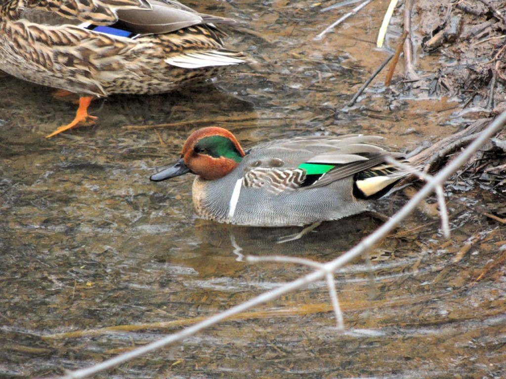 Green-winged Teal. Hendrie Valley 23 Dec 2015-3
