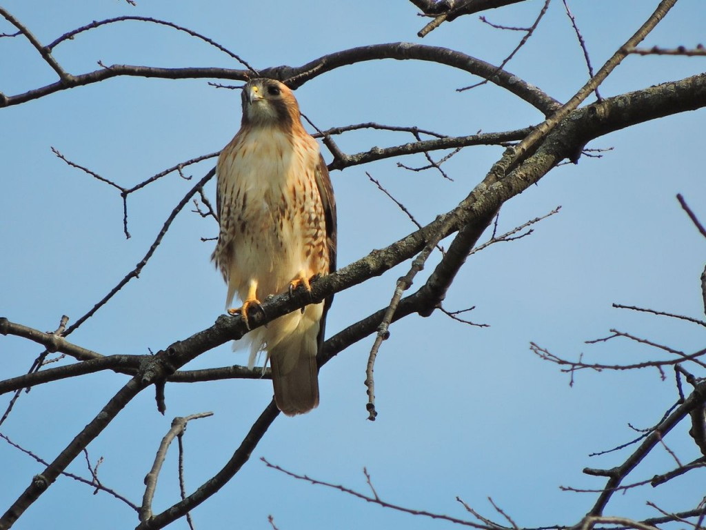 Red-tailed Hawk ready for the next meal