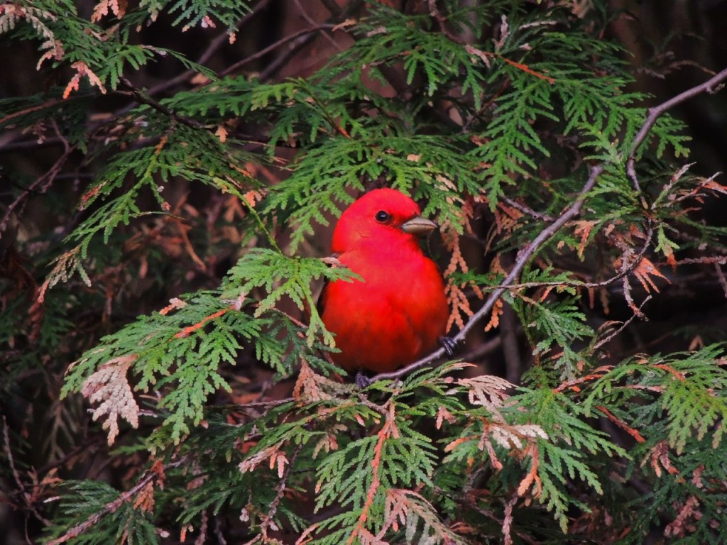 Scarlet Tanager at Paletta Park