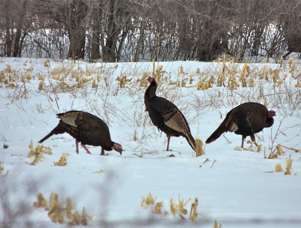 Turkeys Nr Duxbury