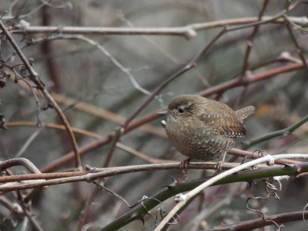 Winter Wren. Sedgewick park Oakville. 3 Jan 2016