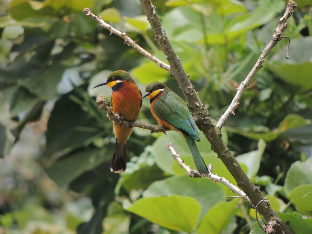 Cinnamon-chested Bee Eater