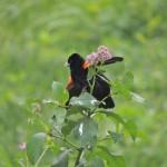 Fan-tailed Widowbird. Uganda