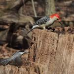 Red-bellied Woodpecker & Black-capped Chickadee