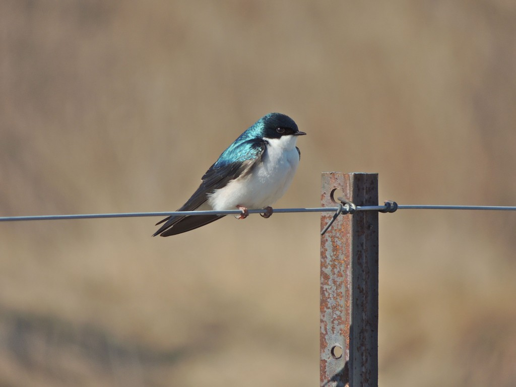 First of the year Tree Swallow