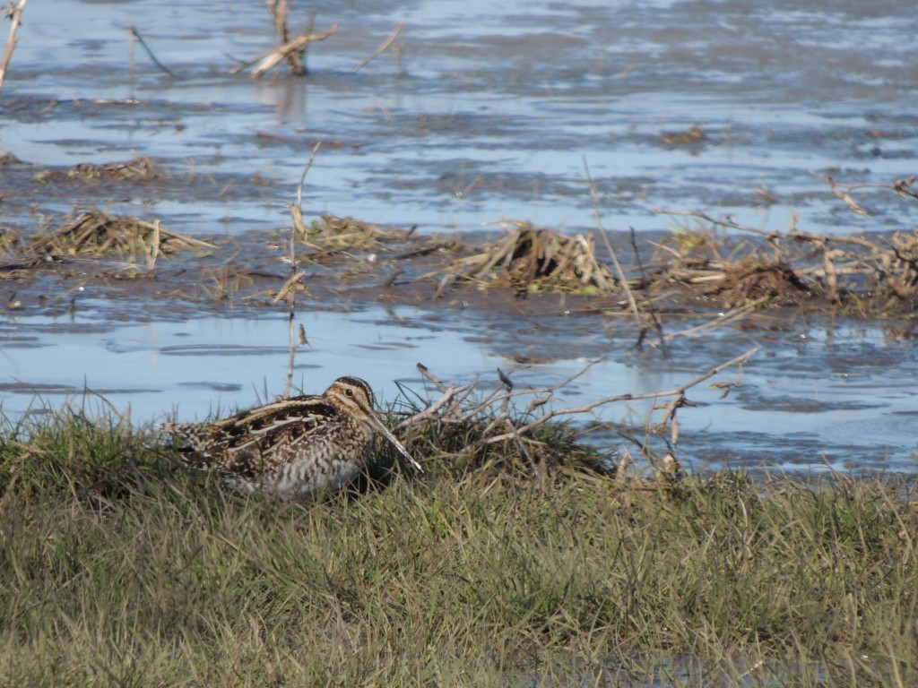 Wilson's Snipe happy on its own.
