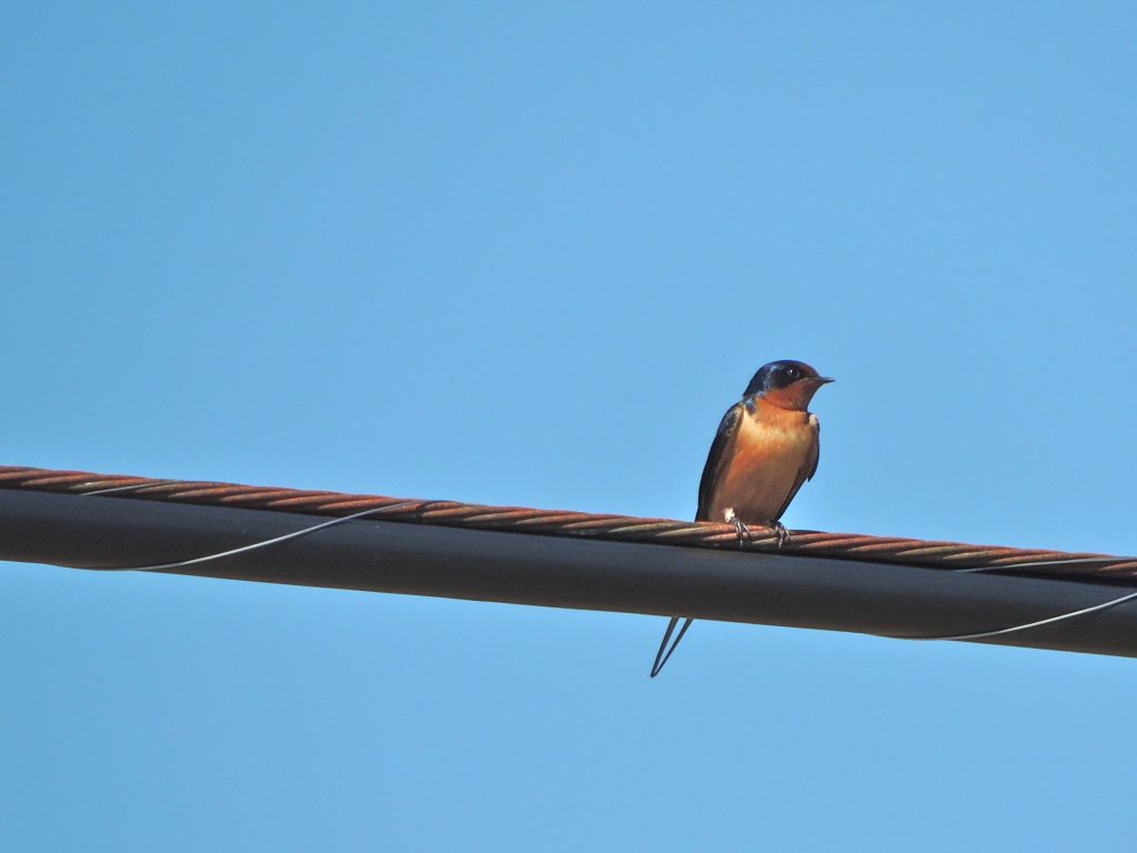 Barn Swallow - just back from Amazonia