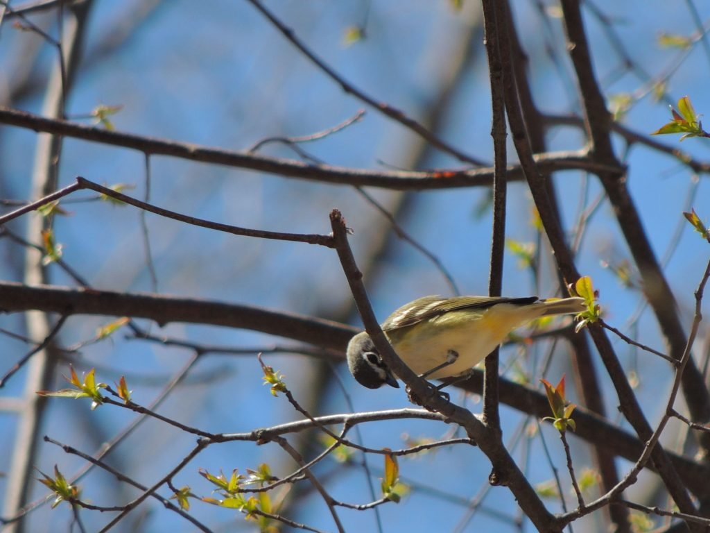 Blue-headed Vireo  with unusually yellow under-tail coverts and belly