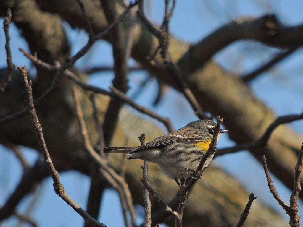 First Yellow-rumped Warbler. April 15 2016