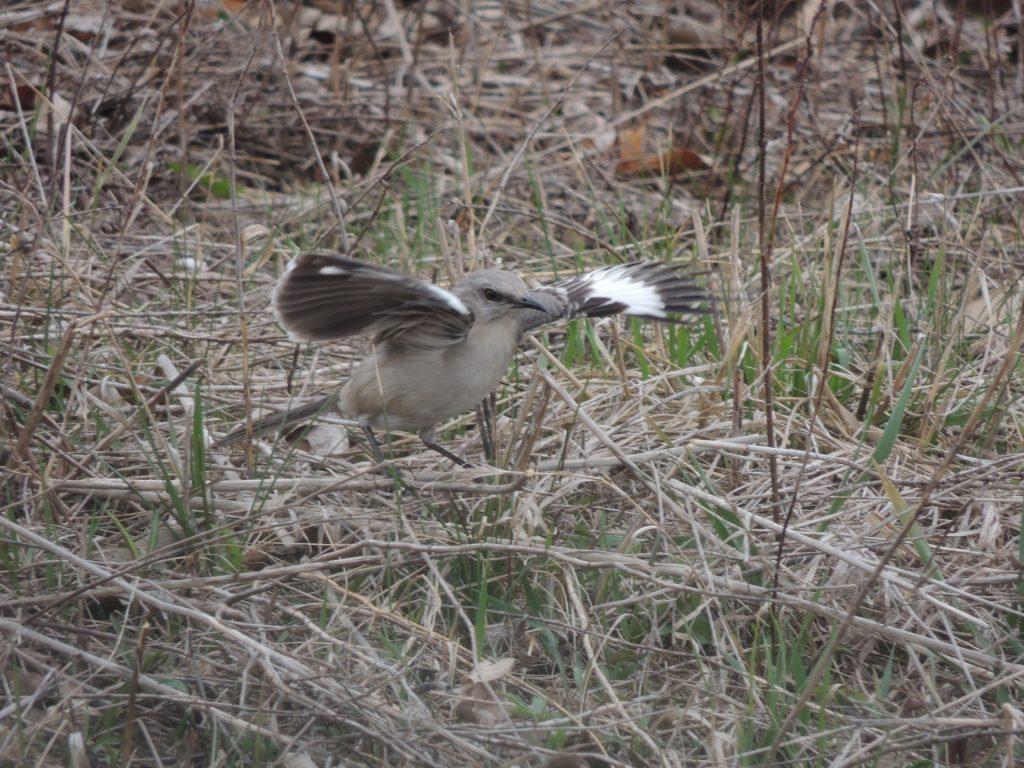Northern Mockingbird. Wing flashing