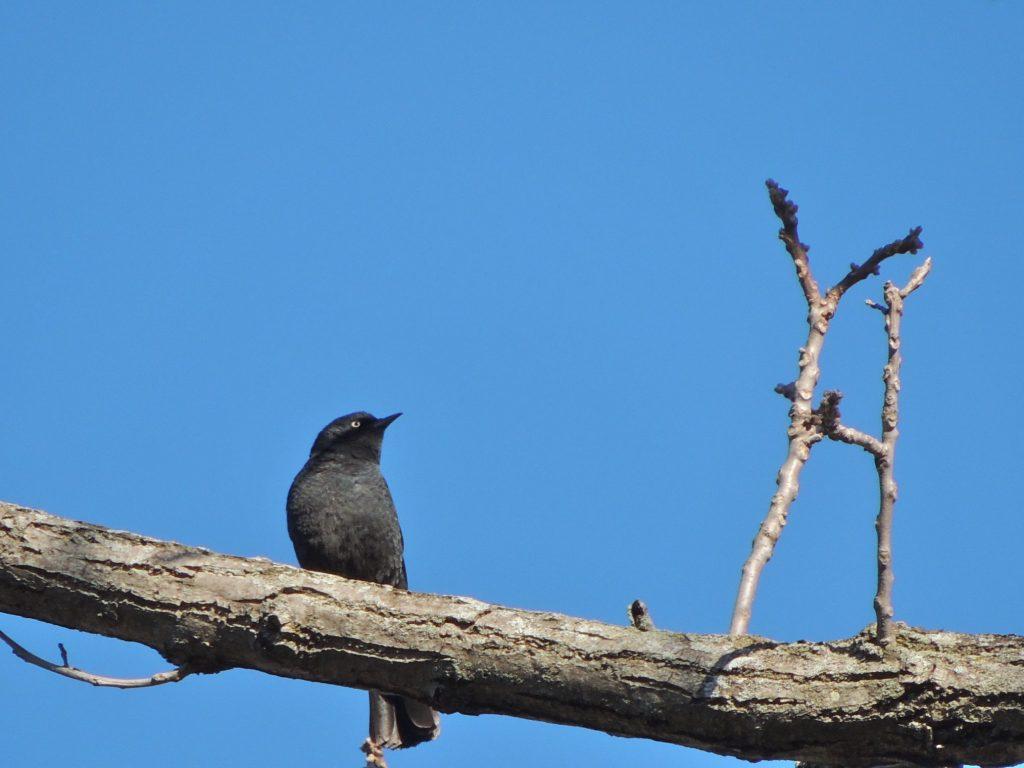 Rusty Blackbird.