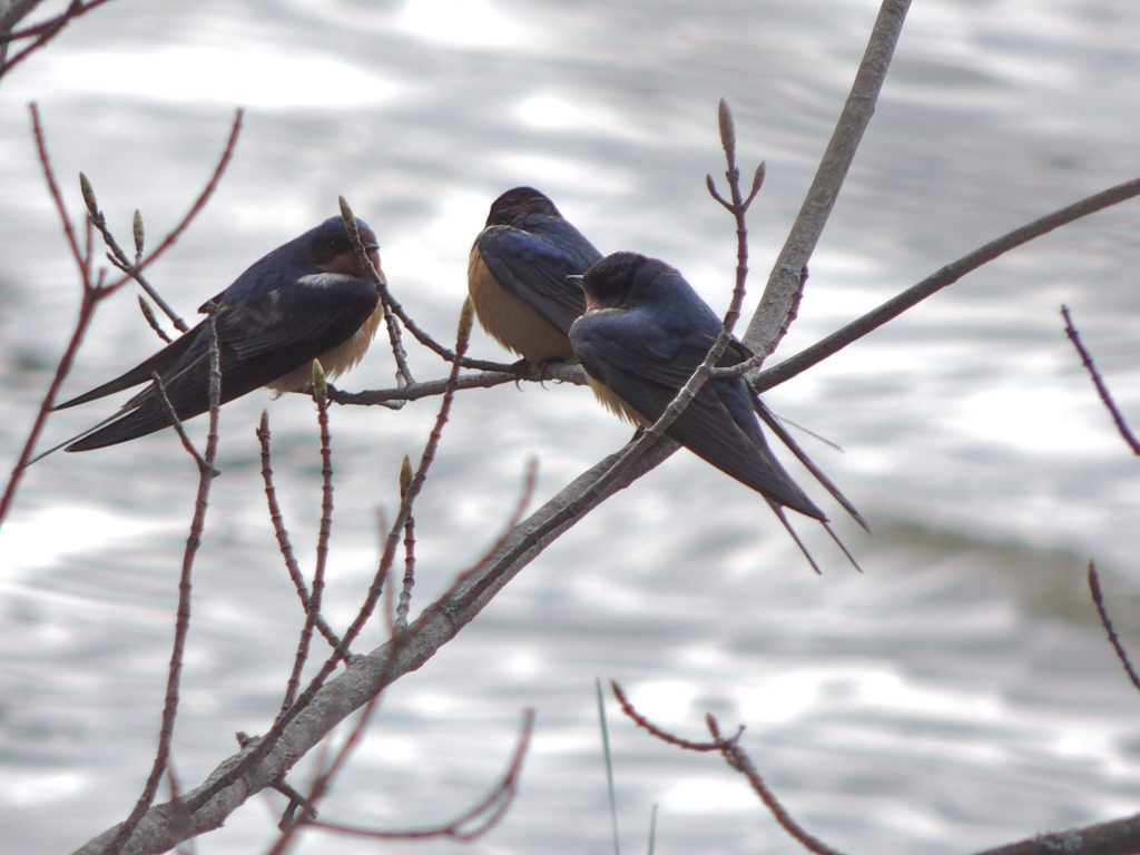 Barn Swallows in the cold