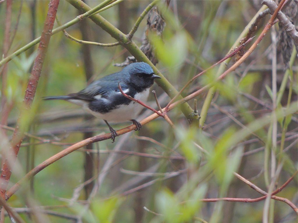 Black-throated Blue Warbler. Old Cut, LP