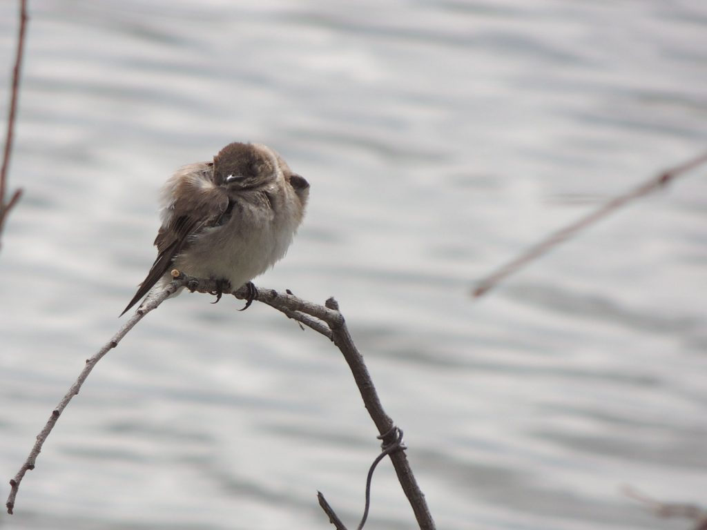 N Rough-winged Swallow in the cold.