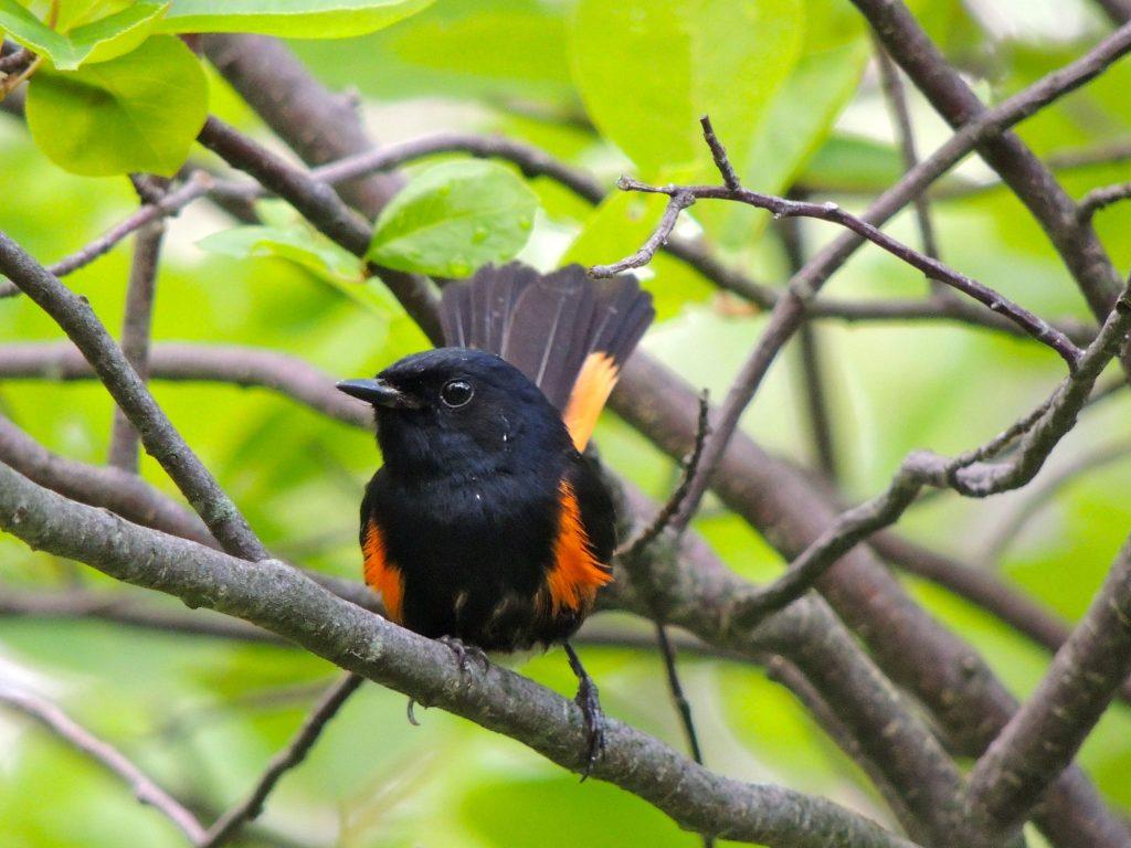 American Redstart (male).