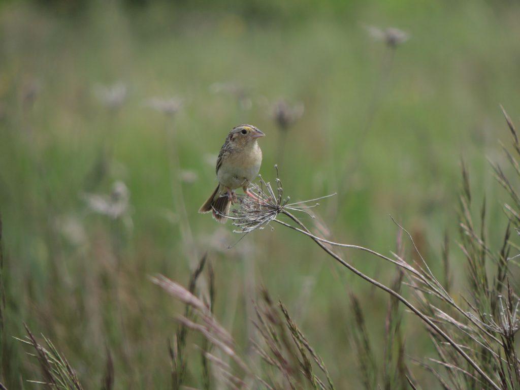 Grasshopper Sparrow,