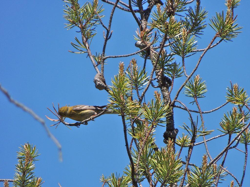 Pine Warbler.