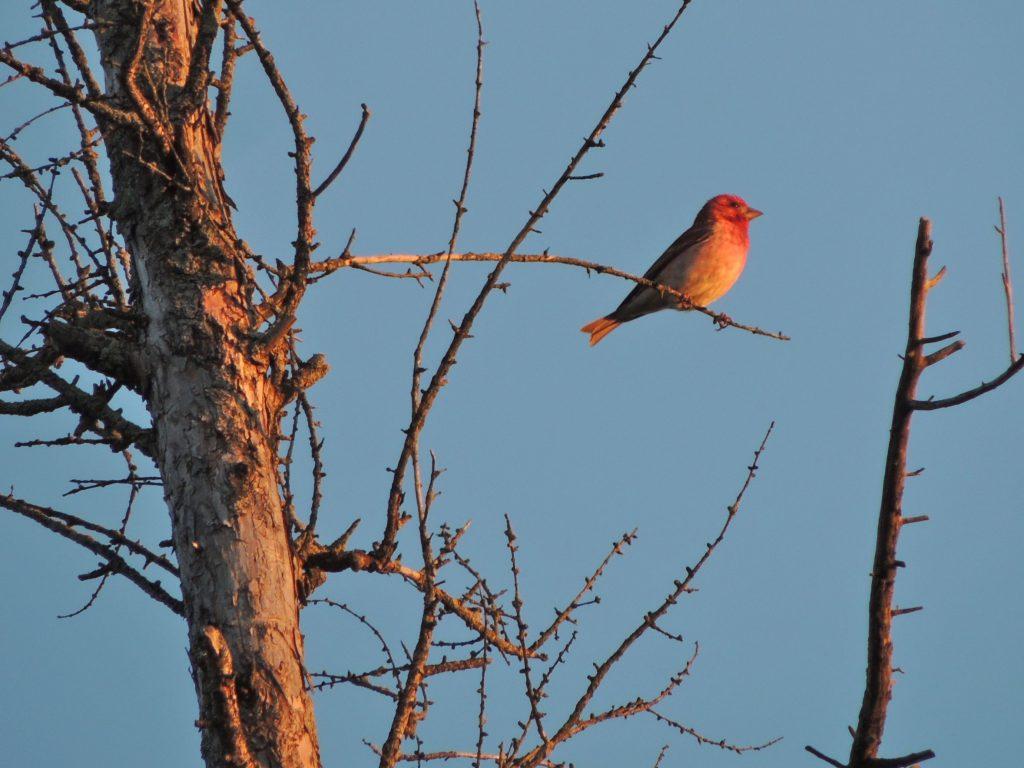 Purple Finch in evening light.