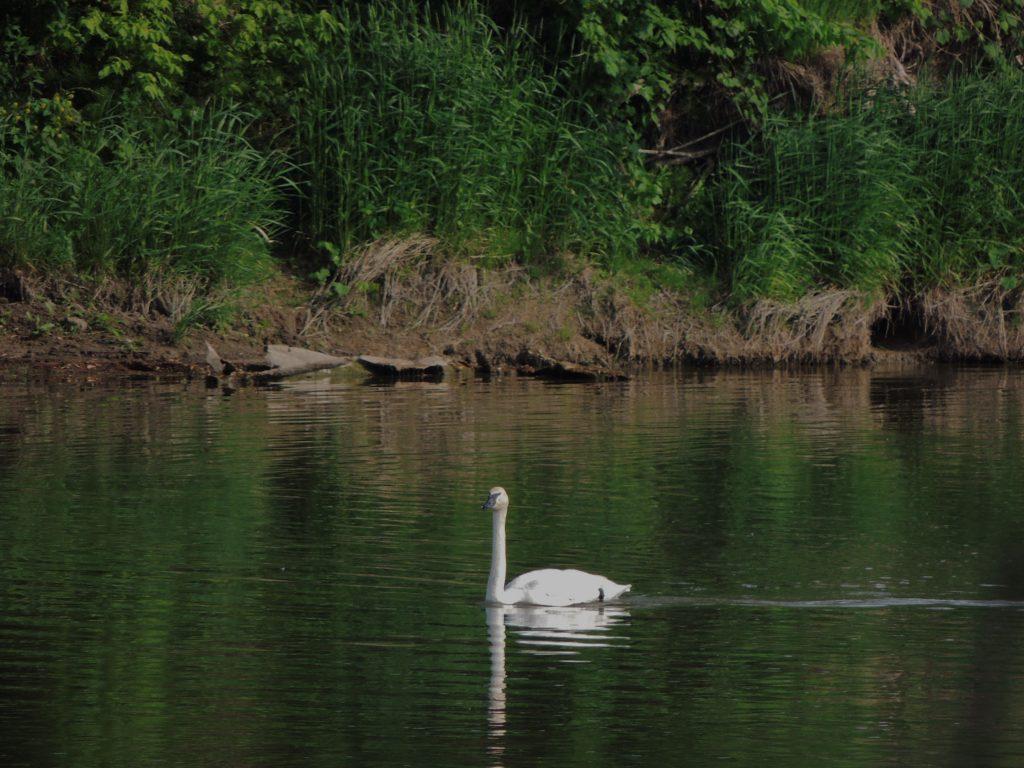Trumpeter Swan - Grand River