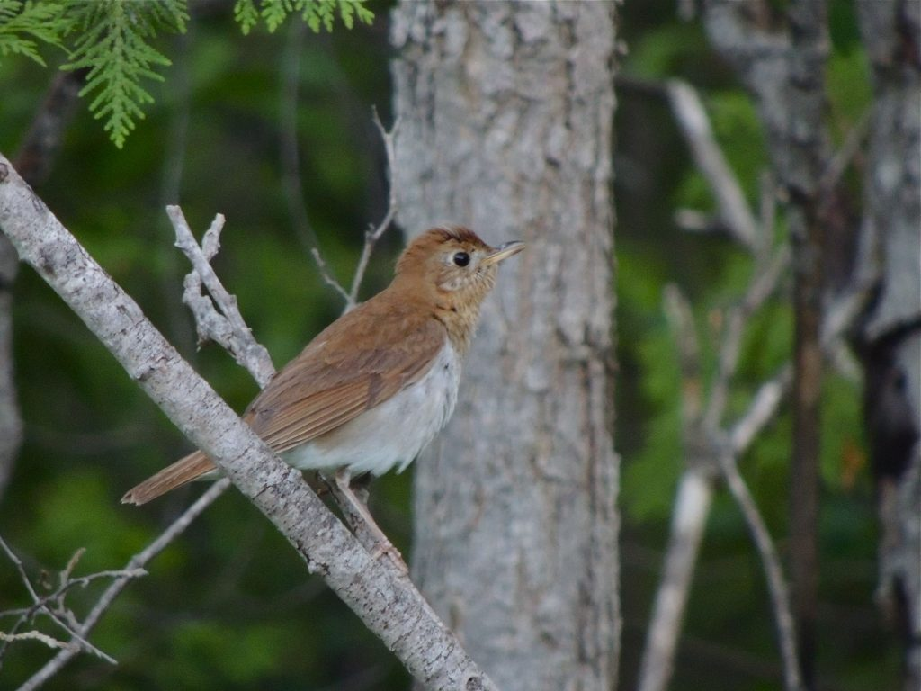 Veery, checking me out.