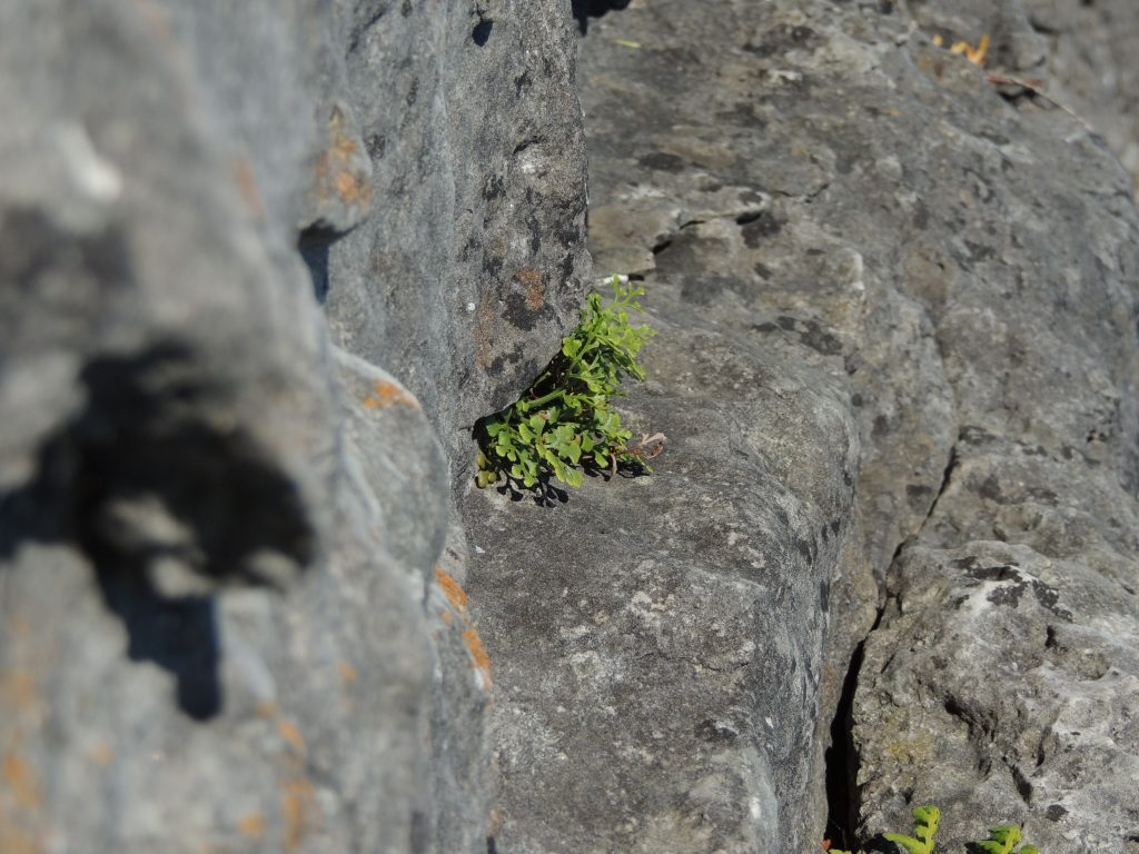 Wall Rue.  I know it doesn't look like much but well this is probably as much as you're ever likely to see of it without risking your neck.