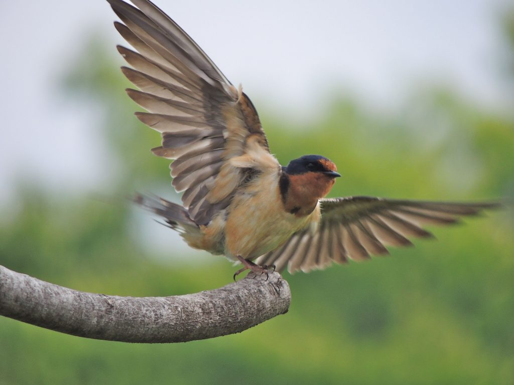 Barn Swallow at RBG Arb'