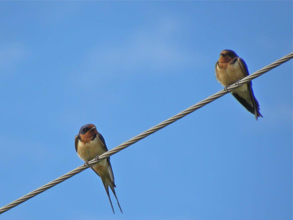 Barn Swallows.July 20 2012